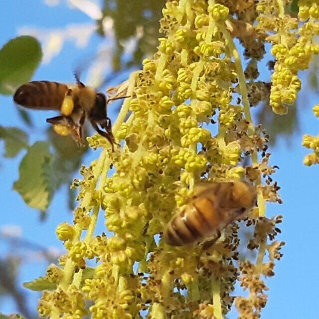 עוקץ של דבורים משמש כבר אלפי שנים לטיפול בדלקות כרוניות