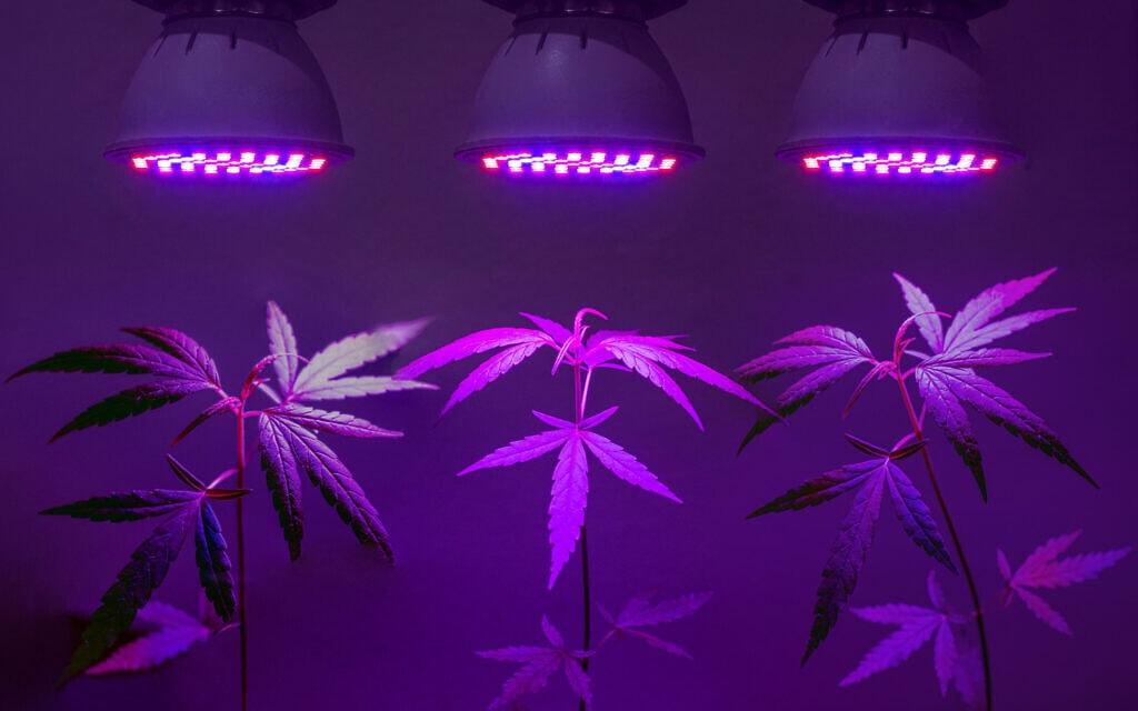 צמחי מריחואנה תחת נורות לד. אילוסטרציה (צילום: chonticha wat/iStock)