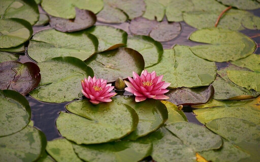 חבצלות מים (צילום: pixabay.com)