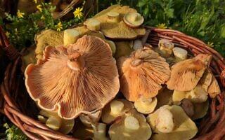 סלסלה עם נטופה ערבה ואורניות מיער בן שמן (צילום: מיכל פישר, אדם וטבע)