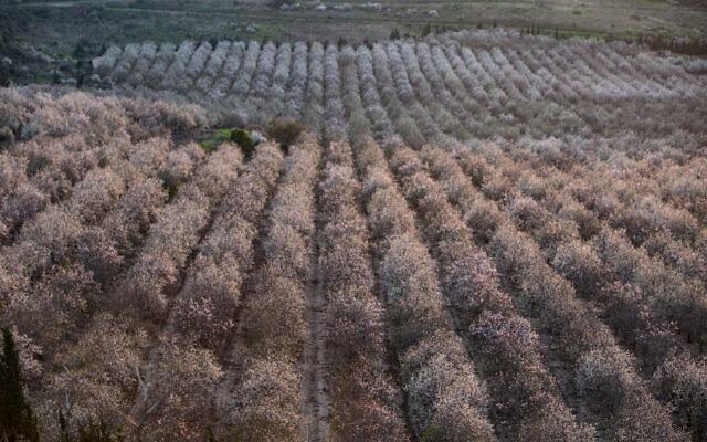 מטע שקדים פורח ברמת הגולן (צילום: מאור קינסבורסקי/פלאש90)