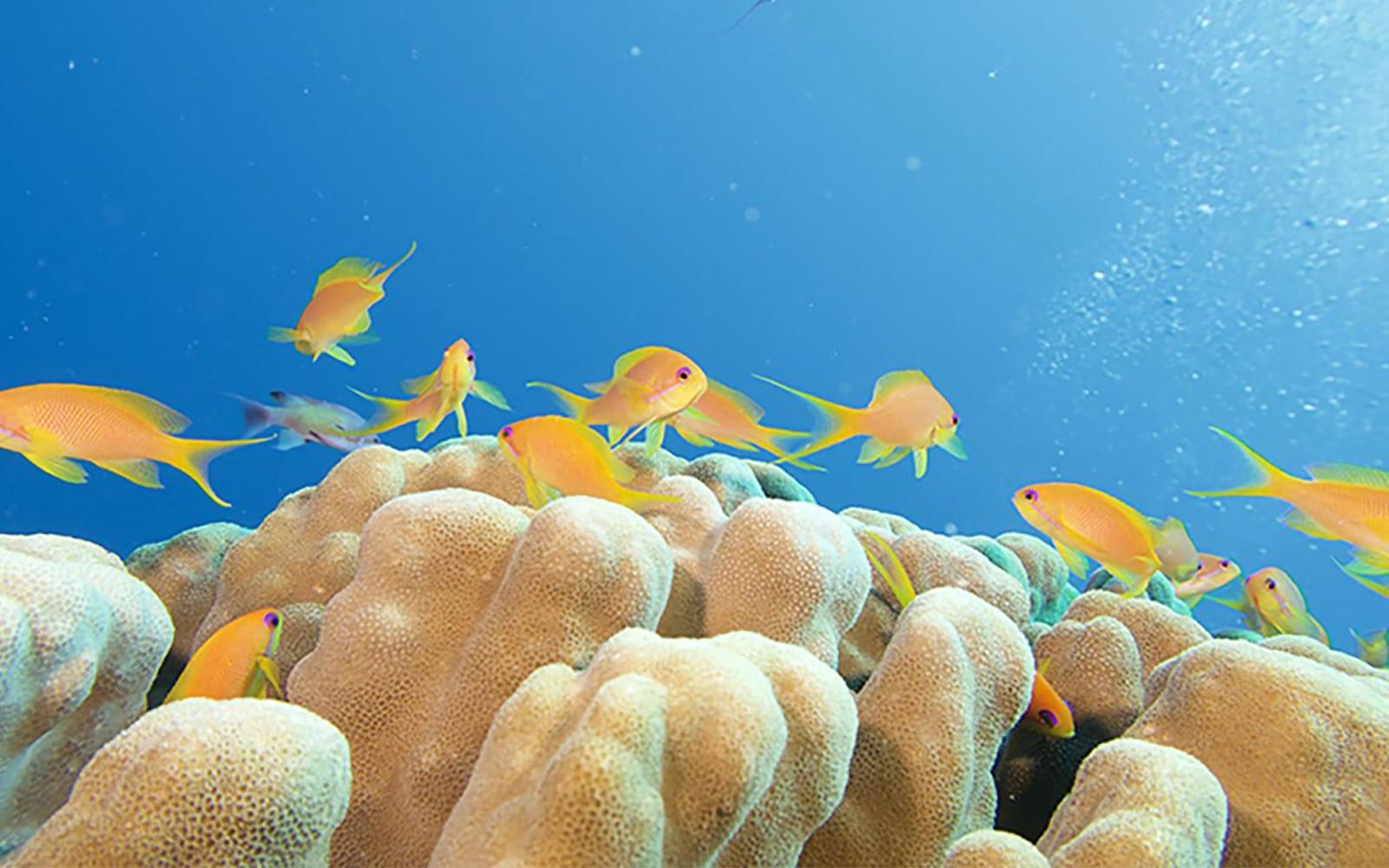 אלמוג במפרץ עקבה (צילום: Ove Hoegh-Guldberg)