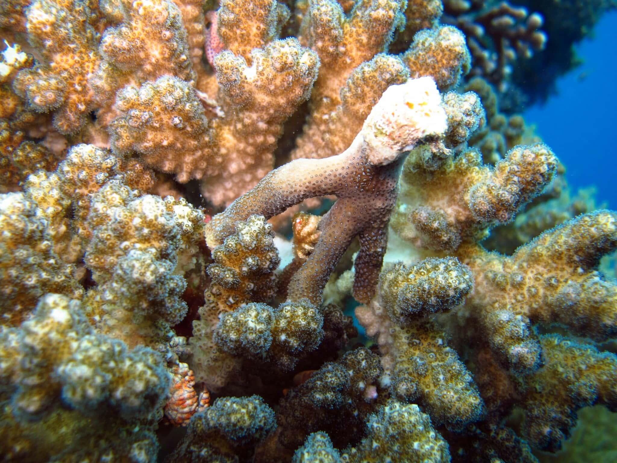 אלמוגים גדלים על גבי פסולת בנייה באילת (צילום: אסף זבולוני/רשות הטבע והגנים)