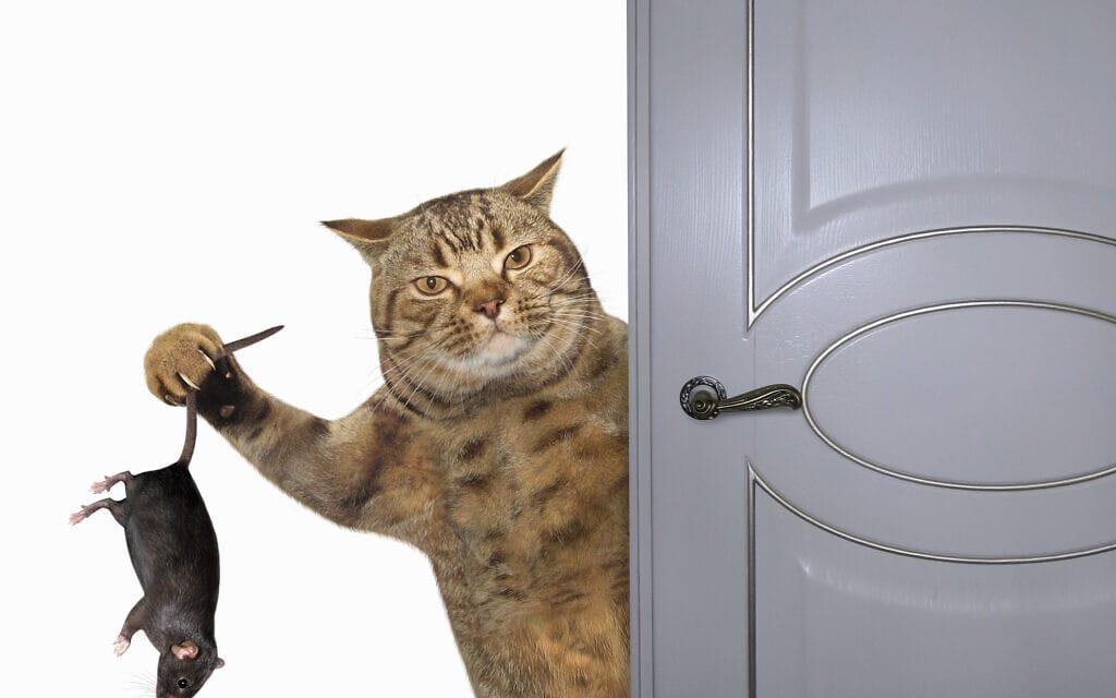 חתול מביא עכבר הביתה, אילוסטרציה (צילום: iStock / :iridi)