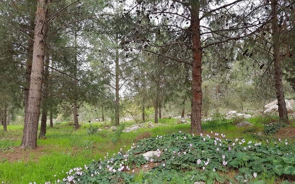 יער מכבים (צילום: באדיבות חברי ועד הפעולה להצלת יער מכבים)