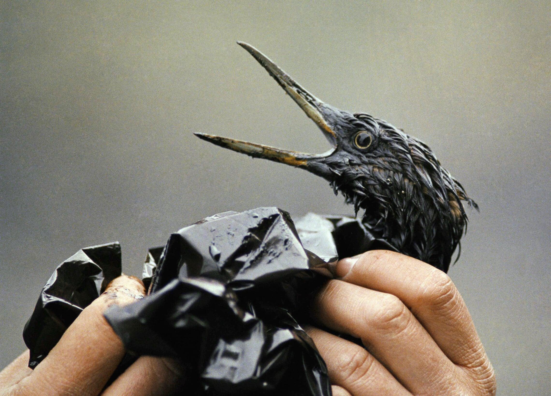 ציפור מכוסה בנפט מאסון אקסון ולדז על חופי אלסקה ב-1989 (צילום: AP Photo/Jack Smith)