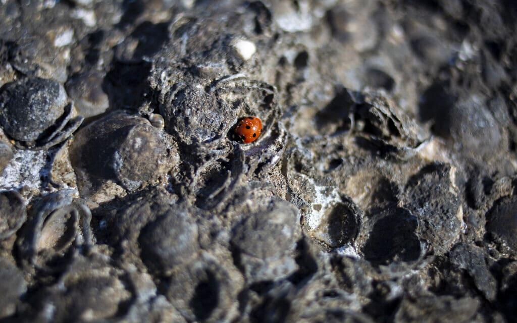 חיפושית על סלעים מכוסים בזפת, 23 בפברואר 2021 (צילום: AP Photo/Ariel Schalit)