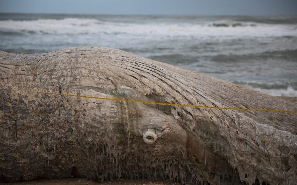 הלוויתן בחוף ניצנים, פברואר 2021 (צילום: AP Photo/Ariel Schalit)