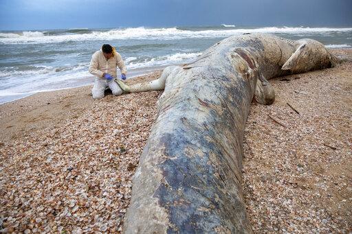 הלווייתן שנפלט לחוף ניצנים, 19 בפברואר 2021 (צילום: Ariel Schalit, AP)