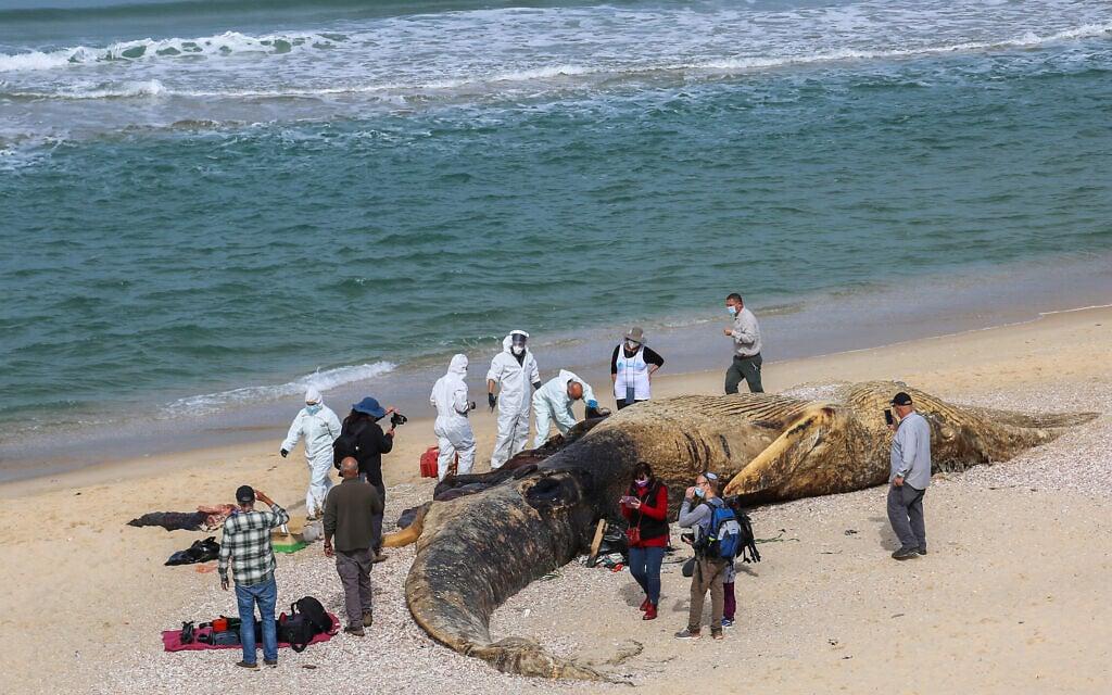 גופת הלווייתן המת בחוף ניצנים, 21 בפברואר 2021 (צילום: פלאש90)