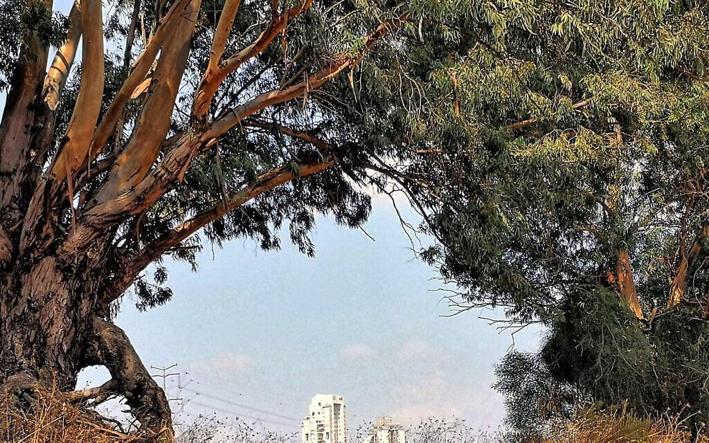 עצי אקליפטוס ותיקים בראשון לציון (צילום: ישראל פרקר, פיקיויקי)