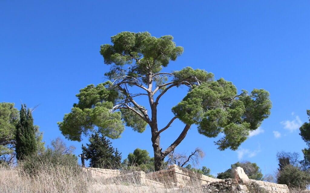 עץ אורן בהר הרוח שבירושלים (צילום: שמואל בר-עם)