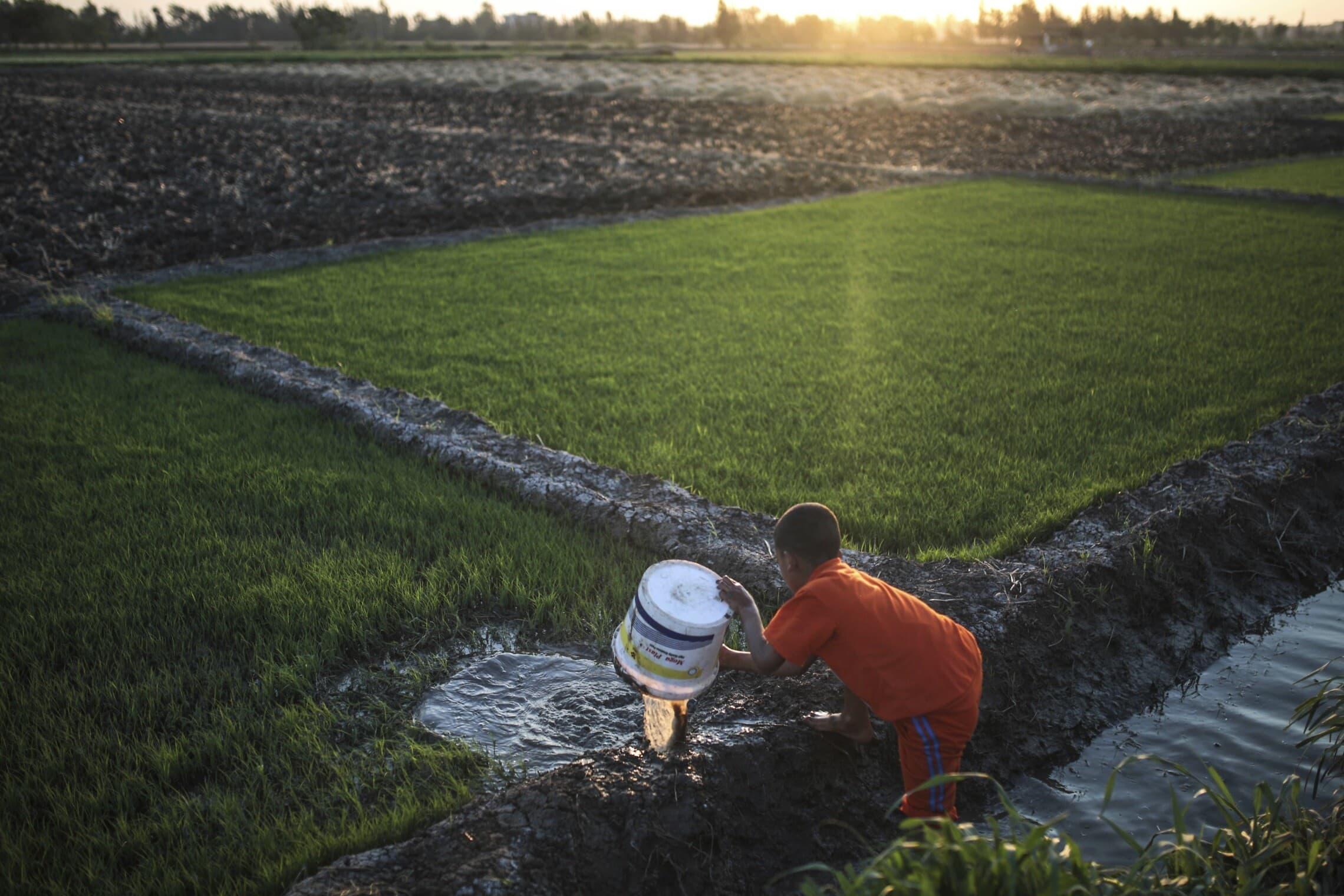 """גידול אורז בדלתא של הנילוס, 300 ק""""מ צפונית לקהיר, מצרים, ב-2015 (צילום: AP Photo/Mosa'ab Elshamy)"""