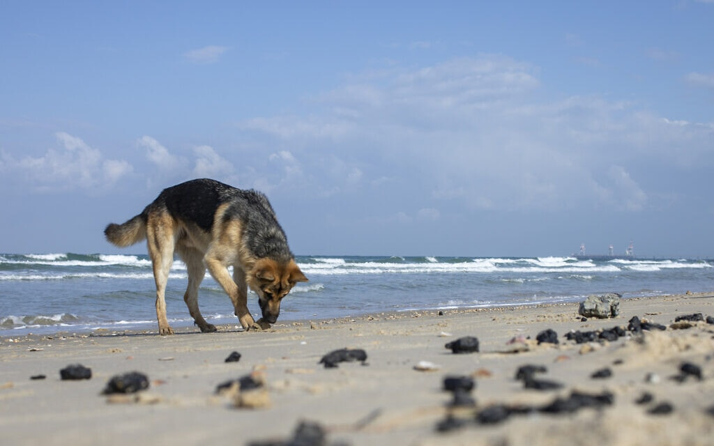 חתיכות זפת בחוף מכמורת, 1 במרץ 2021 (צילום: AP Photo/Ariel Schalit))