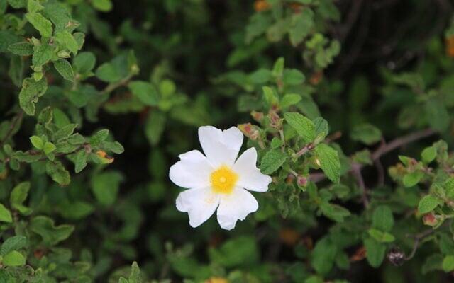 """לוטם לבן בפארק עצמאות ארצות הברית של קק""""ל (צילום: שמואל בר-עם)"""