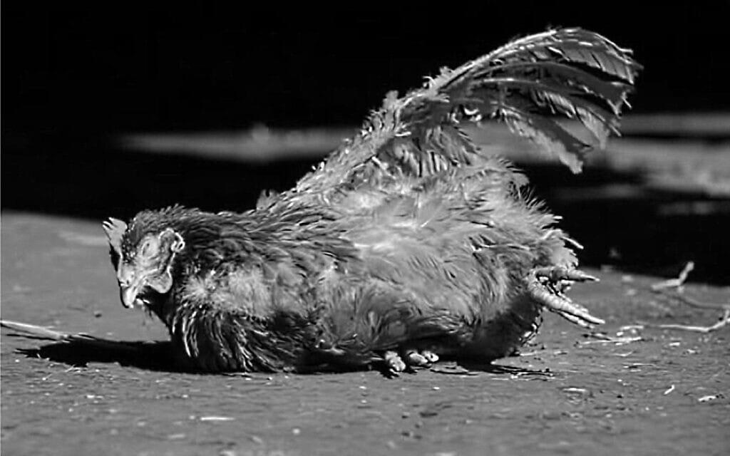 סינדרלה, תרנגולת שחולצה מלול והועברה למקלט, צילום מסך מסרטון של Never again