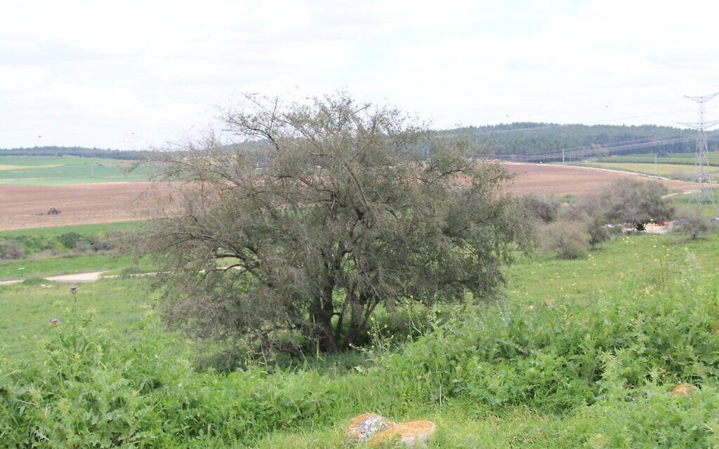 עץ הדומים, שיזף מצוי, בתחילת המסלול שמוביל לתל צפית (צילום: שמואל בר-עם)