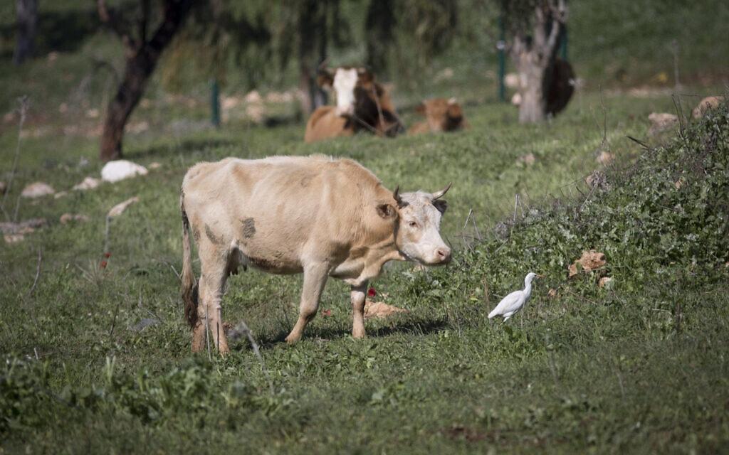 פרה בשדות עמק יזרעאל (צילום: נתי שוחט/פלאש90)