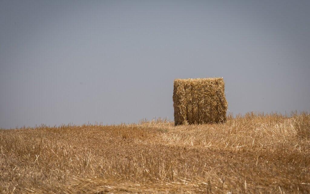 שדה חיטה בעוטף עזה (ארכיון) (צילום: נתי שוחט/פלאש90)