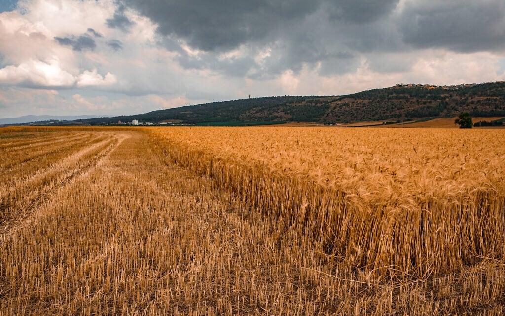 שדות חיטה בעמק יזרעאל (צילום: ענת חרמוני/פלאש90)