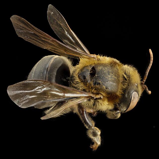 דבורה ללא עוקץ (צילום: ויקיפדיה)