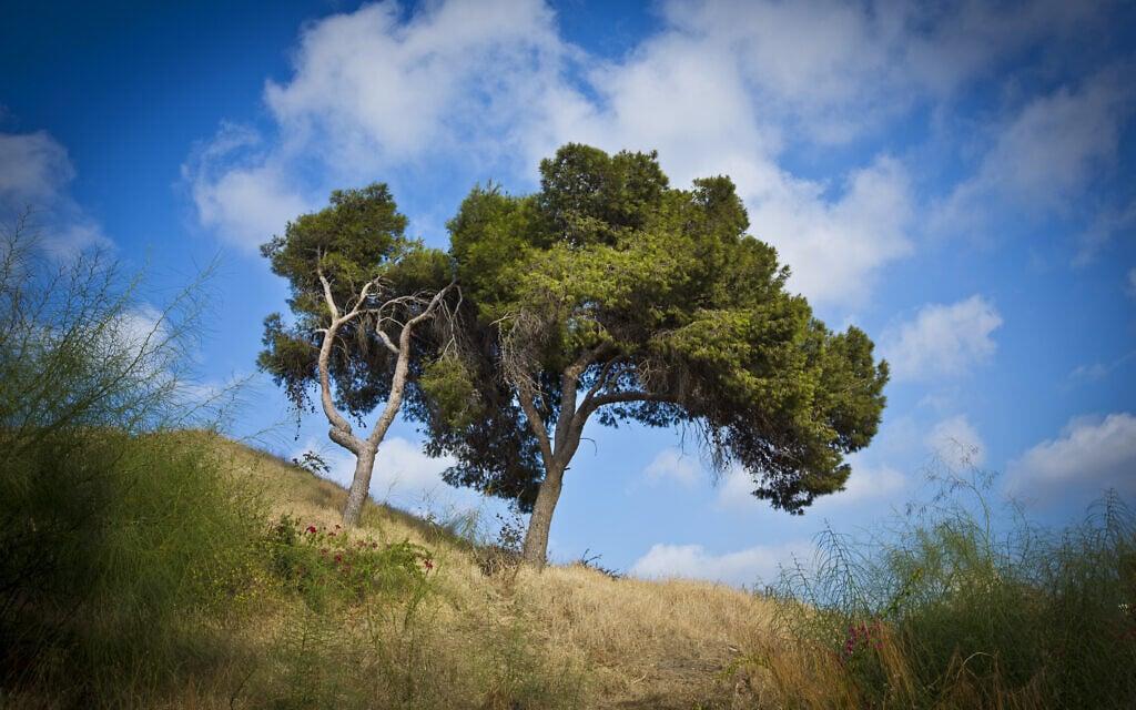 עץ על גבעת נפוליאון ברמת גן (צילום: משה שי/פלאש90)