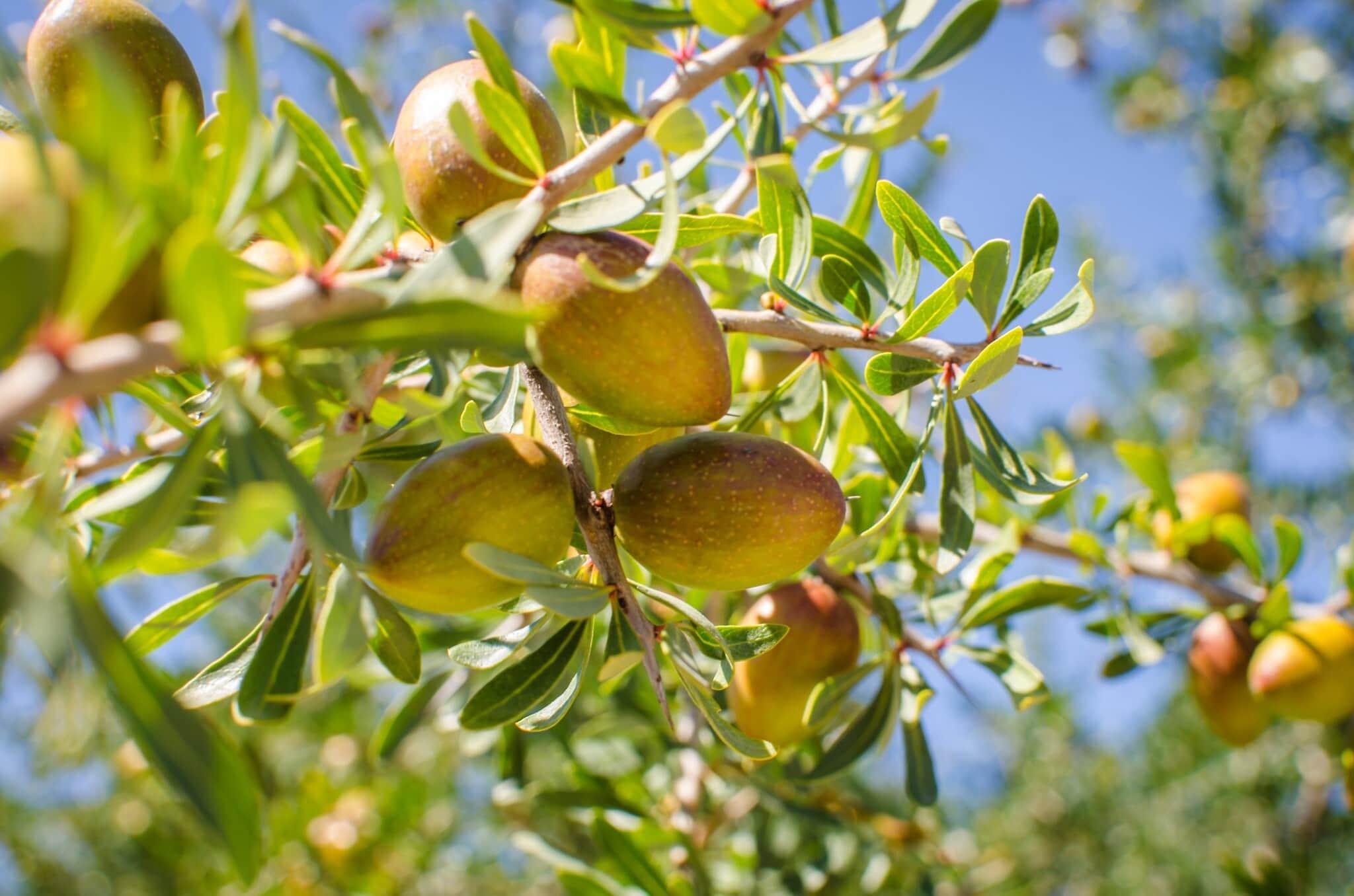 פרי הארגן על העץ (צילום: iStock)