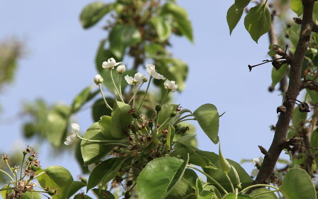 עץ אגס קלרי בגן וואהל לוורדים בירושלים, אפריל 2021 (צילום: שמואל בר-עם)