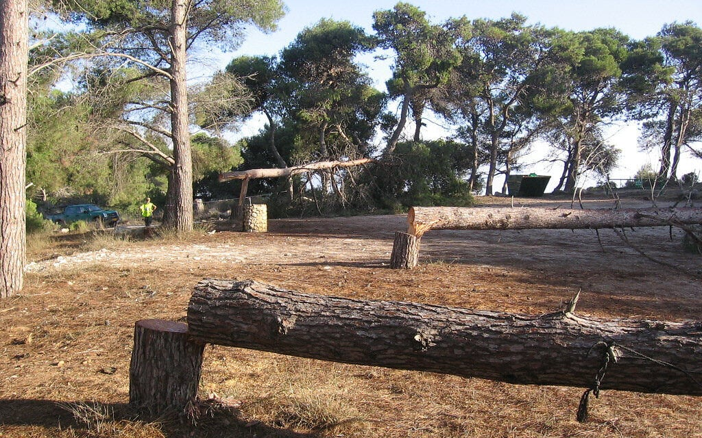 עצים כרותים. אילוסטרציה (צילום: נתן אלבז/רשות הטבע והגנים)