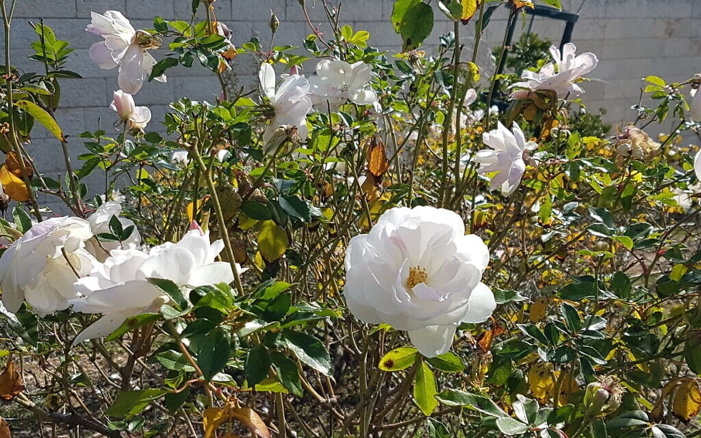 ורד אייסברג בגן וואהל לוורדים בירושלים, אפריל 2021 (צילום: שמואל בר-עם)