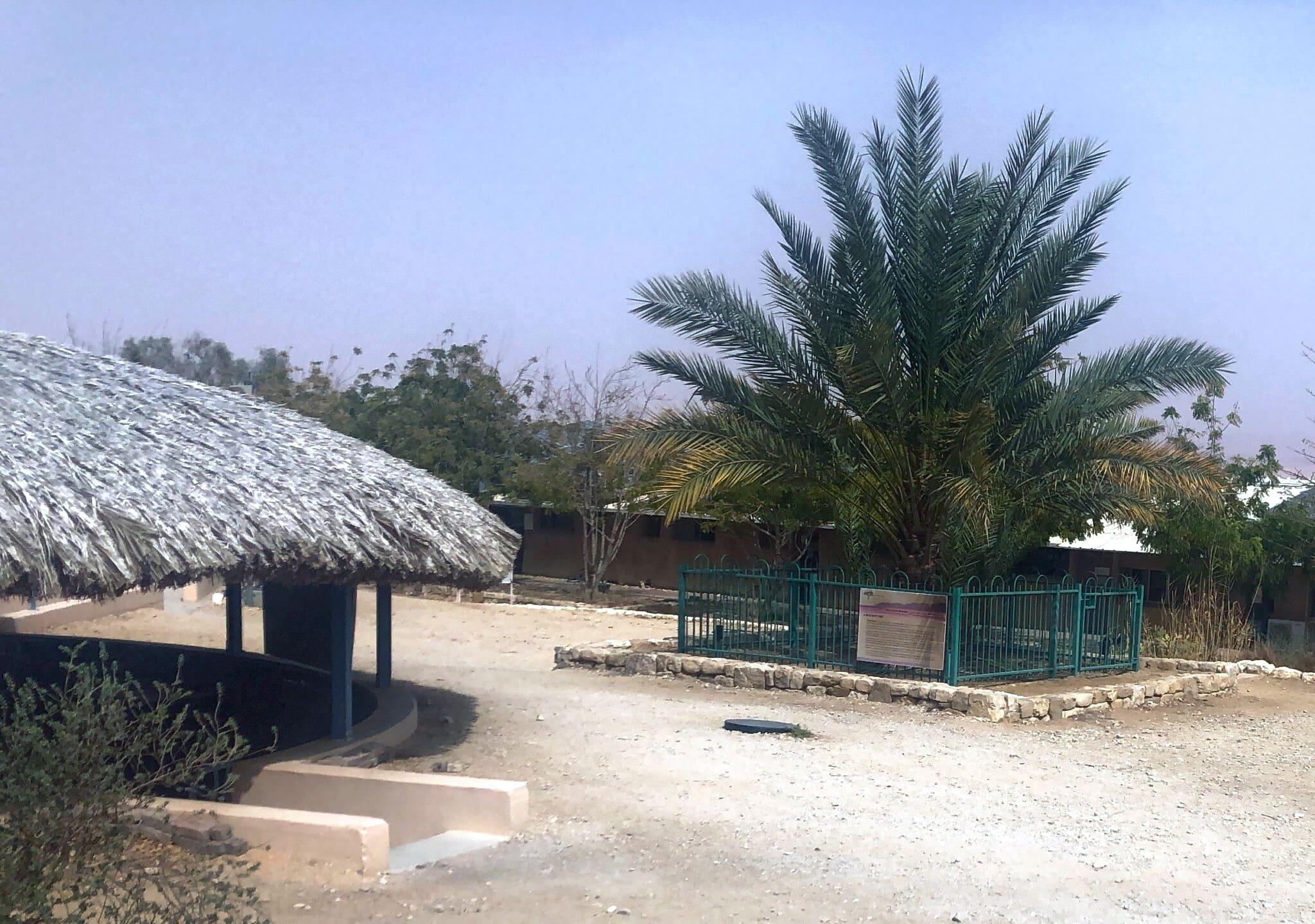 עץ התמר מתושלח בקיבוץ קטורה (צילום: סו סורקיס)