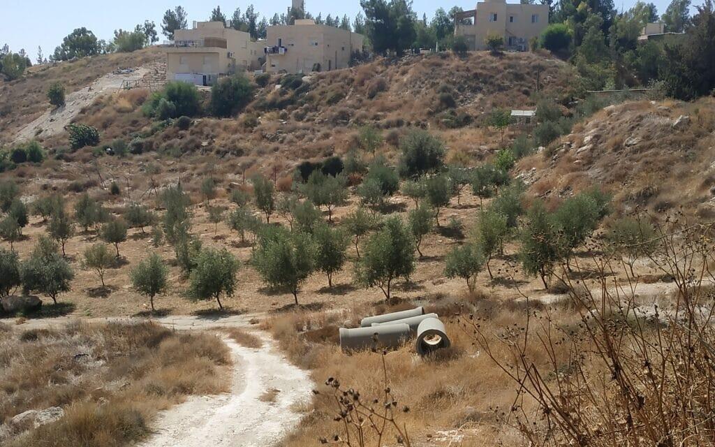 העצים שנשתלו בשטחים שאינם שייכים לשמעון ריקלין (צילום: דרור אטקס, כרם נבות)