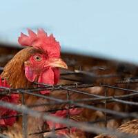 תרנגולת בתעשיית המזון, אילוסטרציה (צילום: iStock / comzeal)