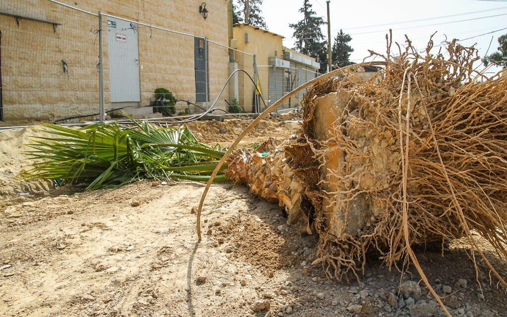 עץ כרות בבאר שבע, ינואר 2019 (צילום: שחר בדולח)