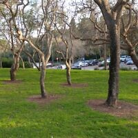 הדברה בתל אביב. קוטלי העשבים משמידים את כל מה שמסביב לעץ (צילום: אדם טבע ודין)