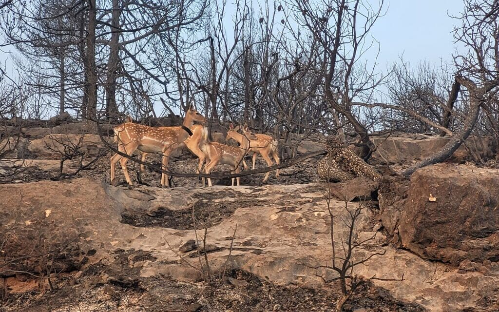 """יחמורים בשמורת הר טייסים שנשריפה, אוגוסט 2021 (צילום: ליאור כהן / רט""""ג)"""