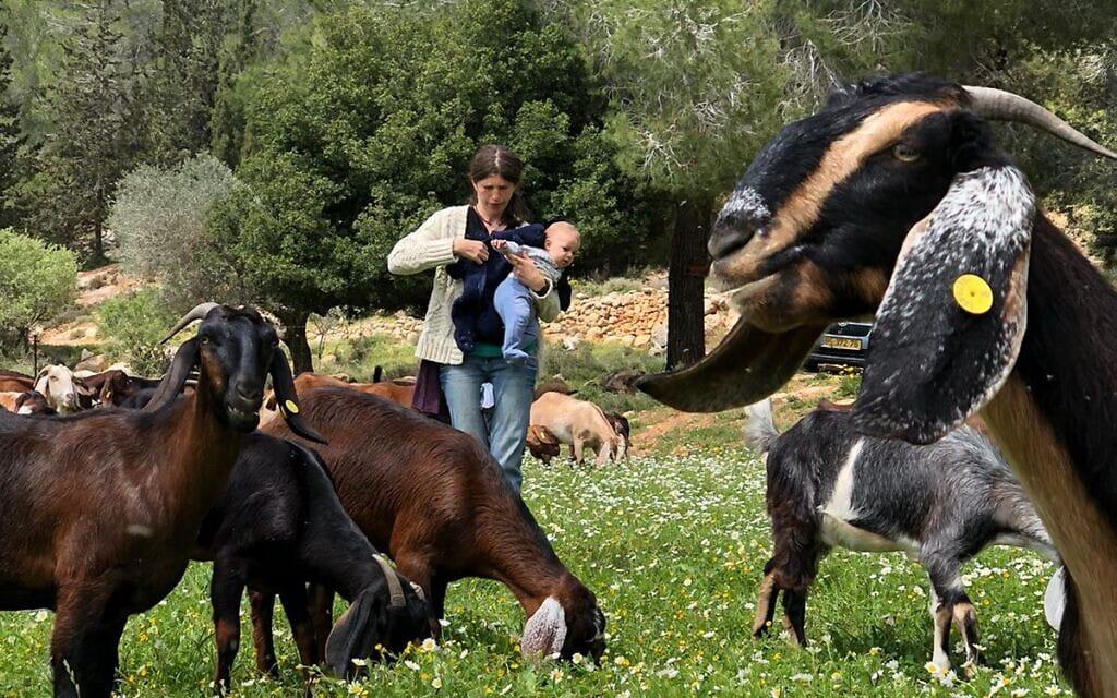עיזים רועות בחוות זלצר בהרי ירושלים