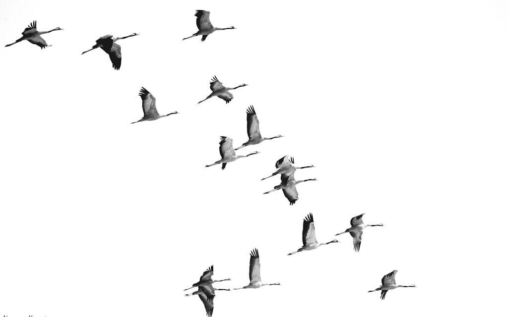 ציפורים נודדות (צילום: נעמה כספי)