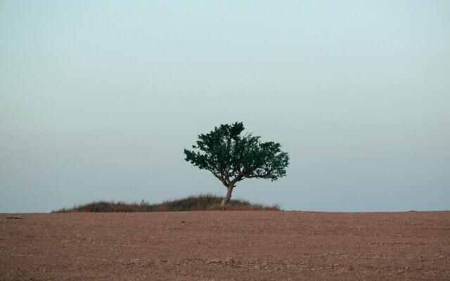 עץ שקמה (צילום: נעמה כספי)
