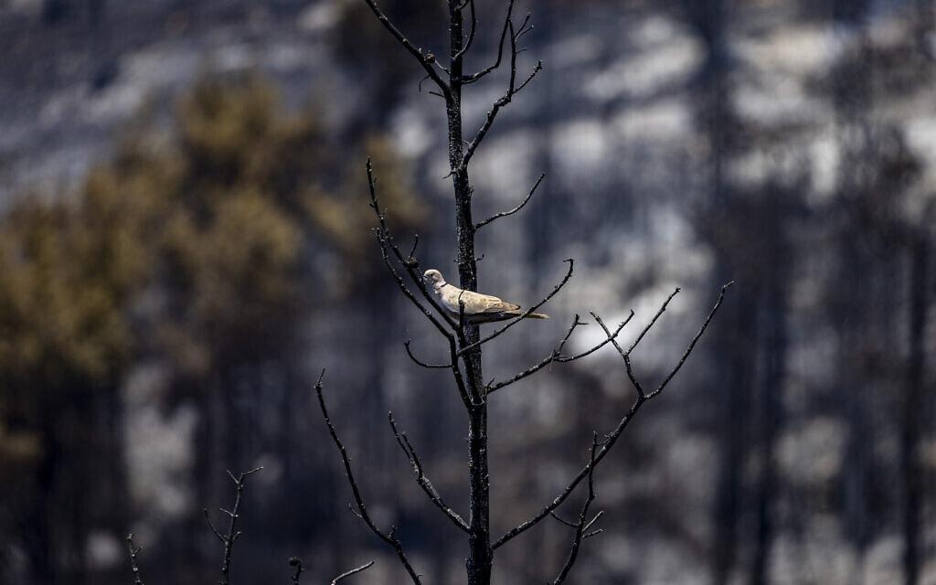 ציפור עומדת על עץ שנשרף כליל ביער ירושלים ליד מושב בית מאיר, 16 באוגוסט 2021 (צילום: אוליבייה פיטוסי/פלאש90)