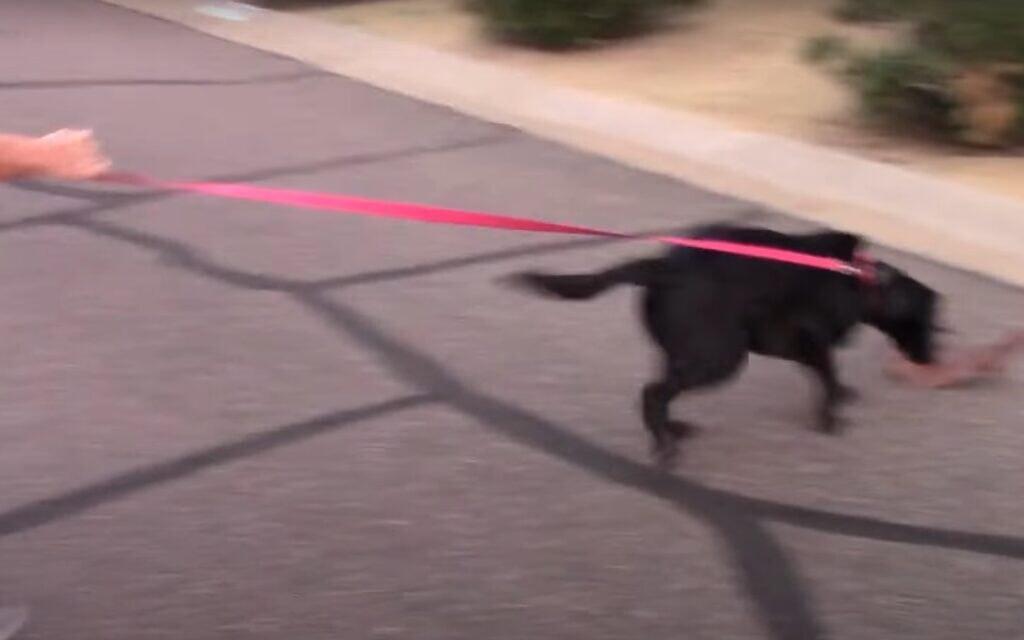 טיול עם כלב, אילוסטרציה, (צילום מסך מתוך סרטון של  Modern Canine Vlog)