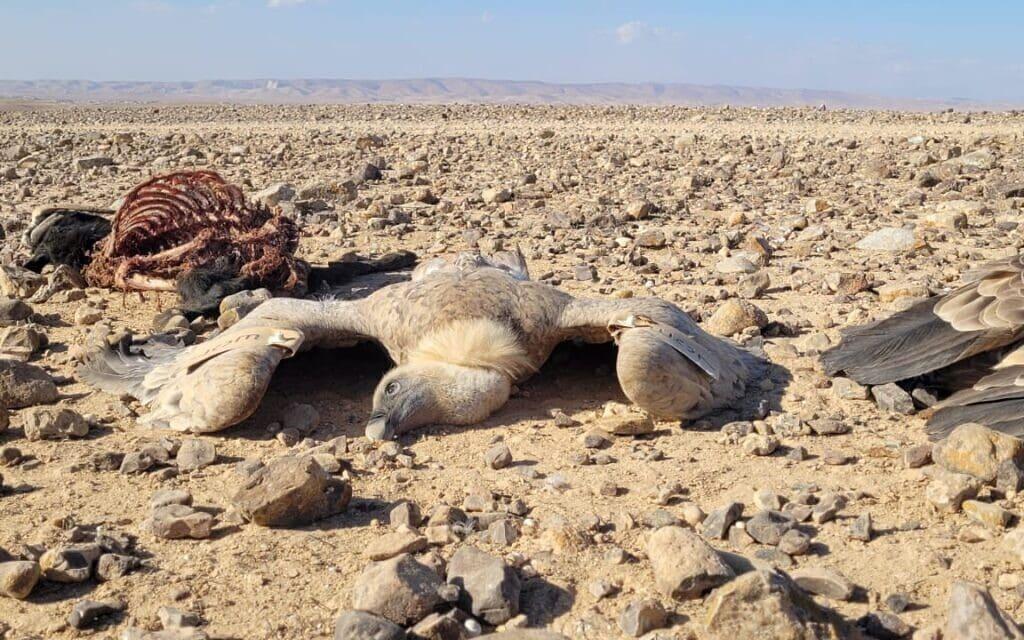 הנשרים שמתו מהרעלה בדרום, 24 באוקטובר 2021 (צילום: אייל בן גיאט, רשות הטבע והגנים)