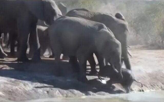 עדר פילים מחלץ גור פילים, צילום מסך מסרטון של Latest Sightings